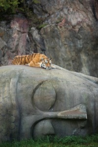 tiger-resting-on-buddha-head-imgur-author-unknown